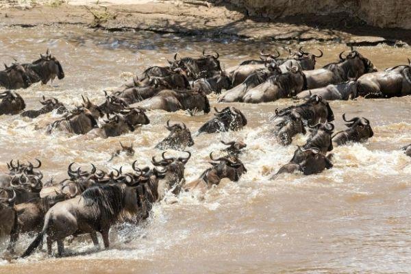 Wild Beast Migration